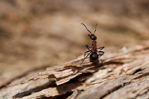 Amazing Fencing - Ants om wood